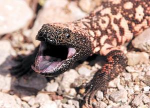 Gila_monster_spit
